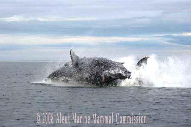 Whale breach, Unalaska Bay Fall 2006